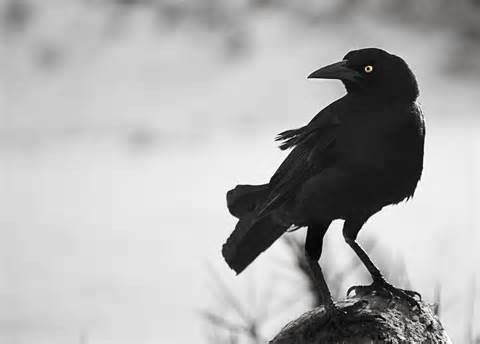 crow-symbol-meaning.jpg
