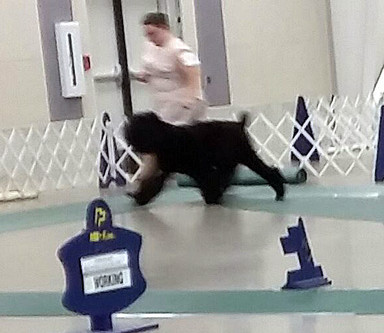 Whisper finishing her AKC RA title and getting OH Group placement!
