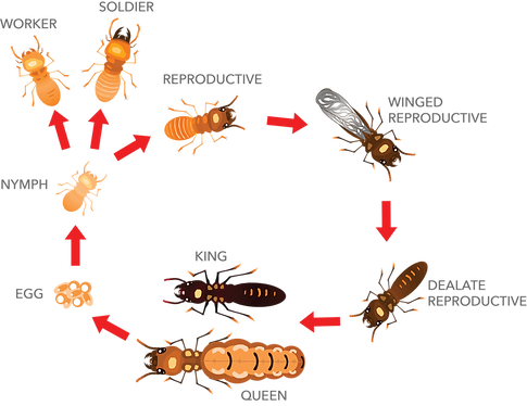 termite-life-cycle.png