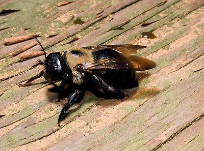 carpenter-bee.jpg