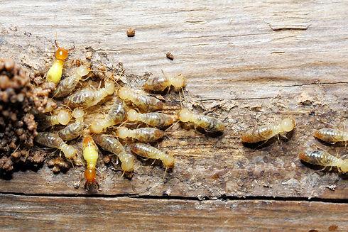 soldier-termites-worker-termites.jpg