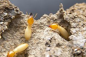 formosan-subterranean-termites.jpg
