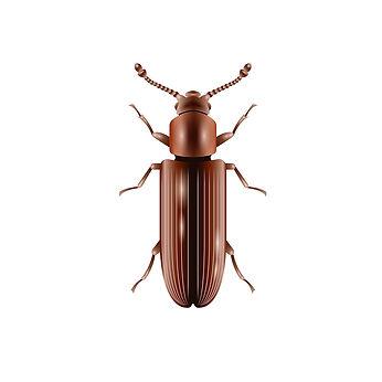 powderpost-beetle.jpg