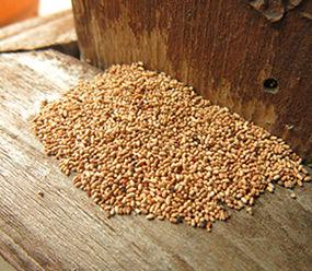 drywood_termite_fecal_pellets.jpeg