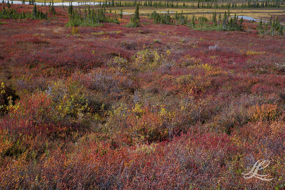 Fall Colours, Alaska tundra