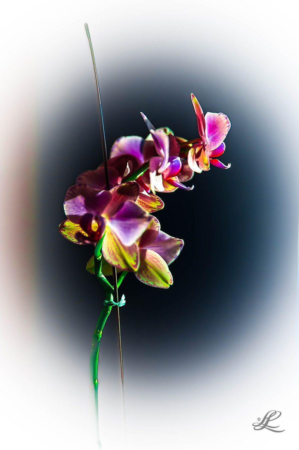 Homegrown orchid