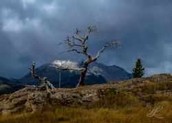 Crowsnest, dead tree