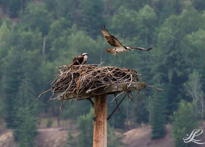 Western Osprey, Trail, BC, Canada