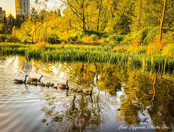 My morning walk views, Stanley Park, Lost Lagoon, Vancouver, BC, Canada #13