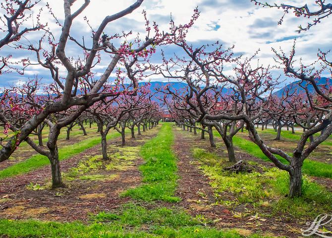 Orchard, Penticton BC