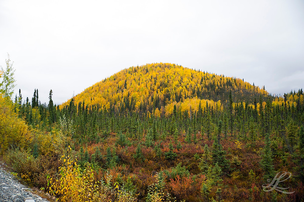 Giant hill of yellow aspen enroute to Haines, AK