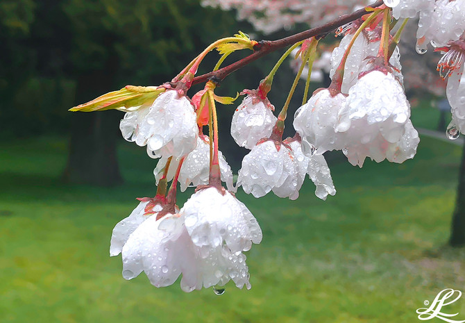 Cherry blossoms in the rain, Stanley Park, Vancouver, BC