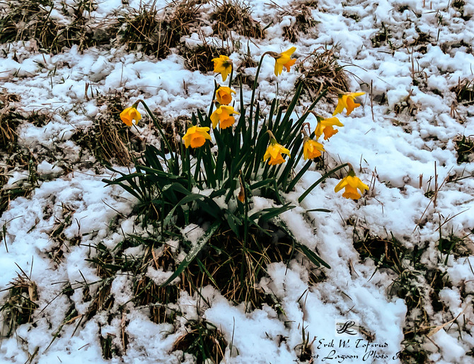 Snow and daffodils, Seawall, Vancouver, BC, Canada