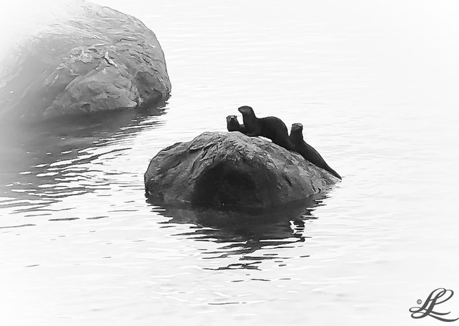 Otter family, English Bay, Vancouver, BC, Canada,