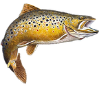 brown-trout-png-trout-trout-png-270_238.