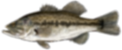 LargemouthBass.png
