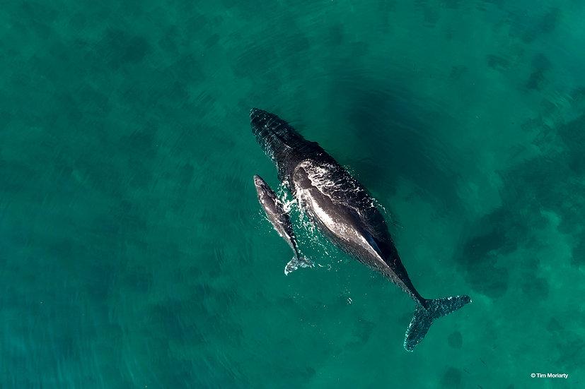 Whale, Mercedes Cove, WA