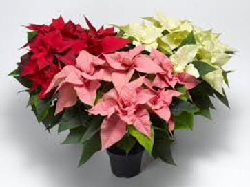 Poinsettia for Yourself