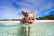 Swimmig with pigs in exuma