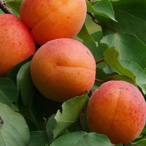 Abricot noyaux – 100 ml huile