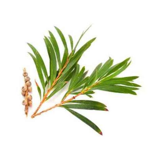 Teebaum, 10 ml bio äterisches Öl