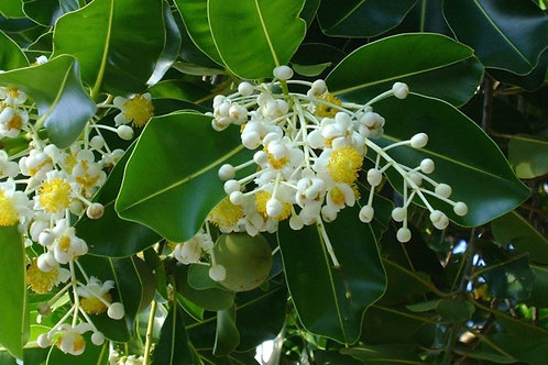 Calophyllus Pflanzenöl, 50 ml