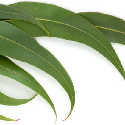 Eukaliptus radiata , 10ml Bio ätherisches Öl