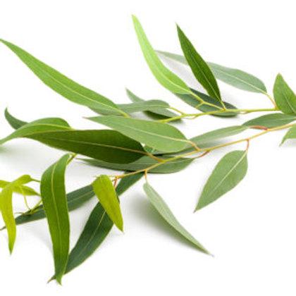 Eukaliptus globulus, 10ml Bio ätherisches Öl