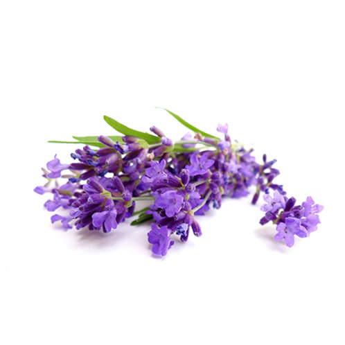 Lavendel fine o. vraie, 10 ml Bio ätherisches Öl