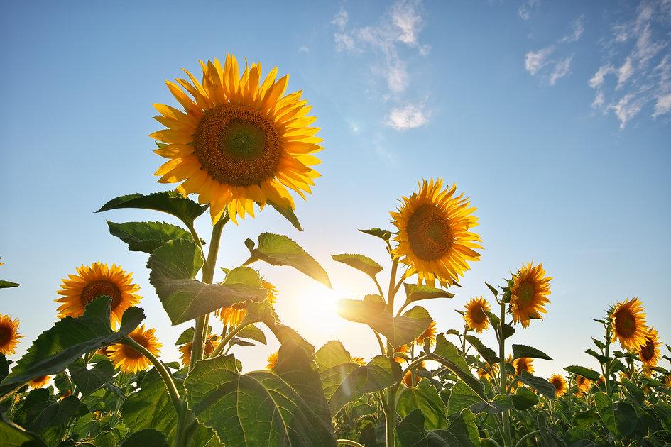 field-of-sunflowers-2021-04-03-12-52-24-utc.jpg