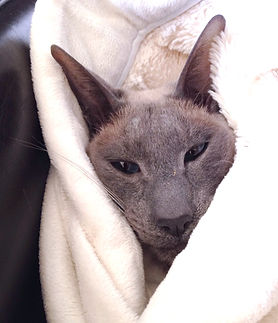 A siamese cat in a blanket - the AniMac muse!