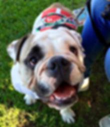 Cane bulldog con maglia mini