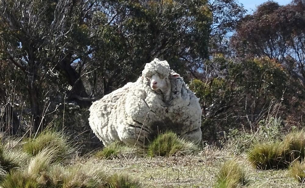 Mouton Mérino
