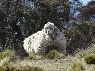 40.4 kg of Merino wool on a single sheep, that makes for quite a few potential suits!