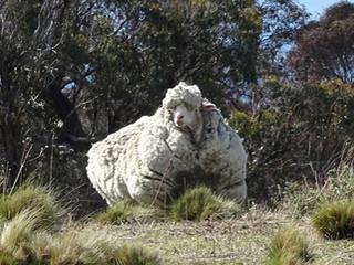 40,4 kg de laine Merino sur un seul mouton, cela fait beaucoup de costumes en perspective !