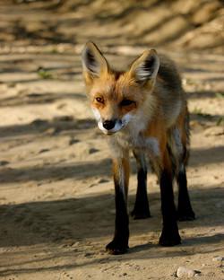 Fox on golf course