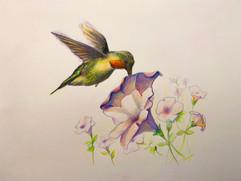Humming Bird and Patunias