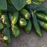 cucumber-3507876_960_720.jpg