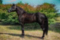 missouri, fox, gaited, horses, trail, riding, trotting, trotter, mfthba, horses