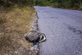 badger, traffic, road signs, GBAB