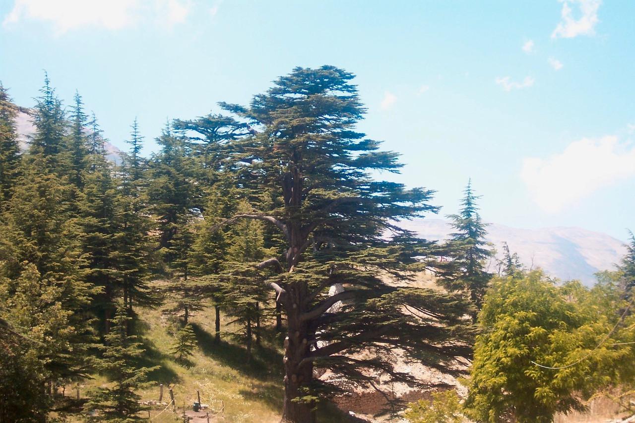 Cedar tree used for Lebanese flag
