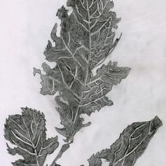Ragged Leaf