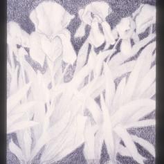 19. Iris Plant slide