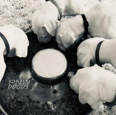 5 Week Old Puppies