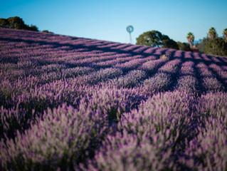Monte-Bellaria di California Lavender Tour - Sebastopol, CA