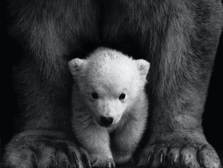 Help Protect our Cubs - Oppose AB 1316 Action Steps - May 3-7, 2021