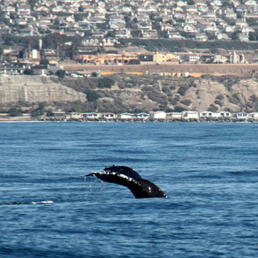 Whale Walk & Talk - Dana Point, CA (link to 2018 calendar, event is not offered on current calendar)
