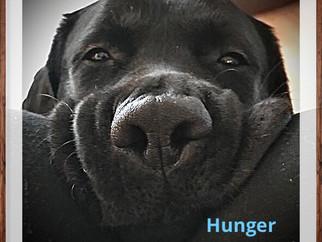 Labbis haben immer Hunger..