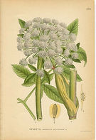 Healing with Angelica - Angelica Recipe