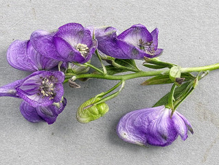 Aconite Compound May Relieve Neuropathic Pain